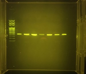 PCR amplified mtDNA