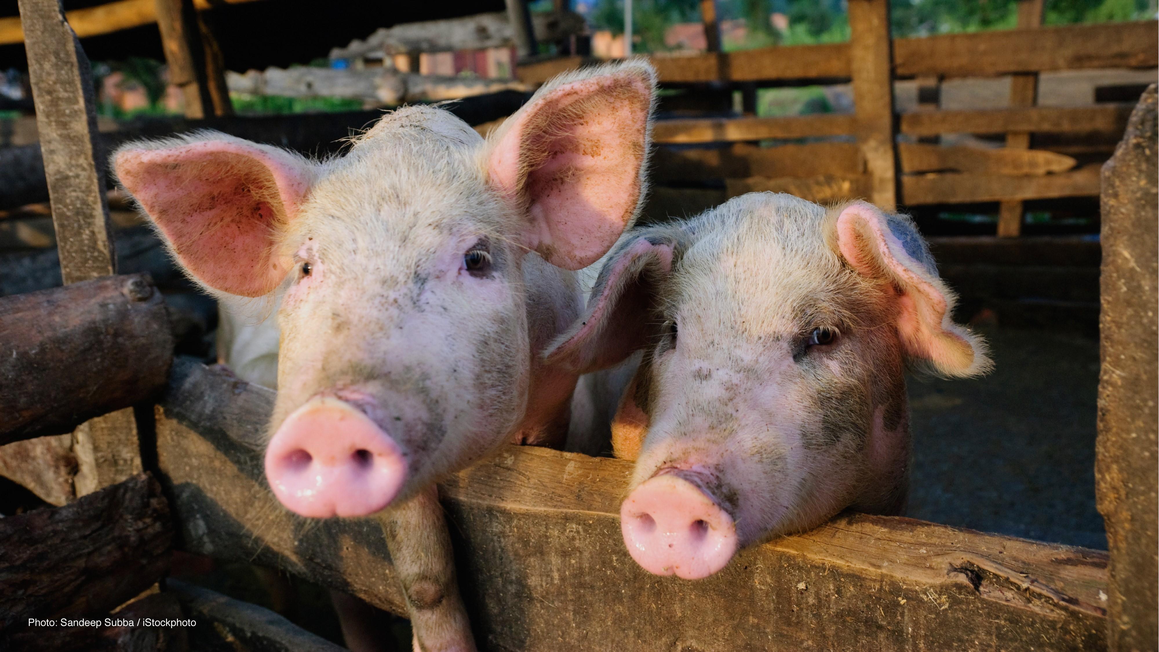 PCR on the farm: Raising healthy animals – miniPCR
